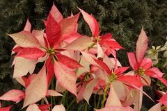 Flor de Navidad (José Lira) Tags: navidad theunforgettablepictures goldstaraward