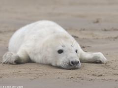 Grey seal pup (gentle lemur) Tags: greyseal donnanook halichoerus