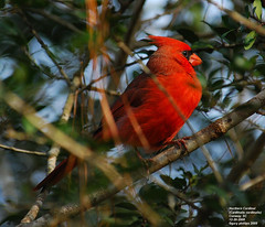 Northern Cardinal (Cardinalis cardinalis) male (Carolinensis) Tags: friends male nature birds searchthebest aves 1001nights cardinaliscardinalis yardbird northerncardinal blueribbonwinner supershot nikkor80400mmvr allrightsreserved feederbirds birdphotos mywinners nikond80 platinumphoto anawesomeshot goldstaraward southcarolinabirds 5k122108muk