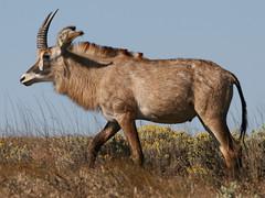 Roan Antelope, Nyika (Malawi), 5-Oct-08 (Dave Appleton) Tags: animal animals mammal malawi antelope nyika roan roanantelope
