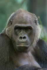 2008-12-25-10h47m32.IMG_3968l (A.J. Haverkamp) Tags: amsterdam dierentuin httpwwwartisnl artis thenetherlands gorilla pobrotterdamthenetherlands dob03061985 canonef70200mmf28lisusmlens zoo shindy sindy