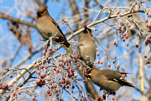 Waxwings eat berries