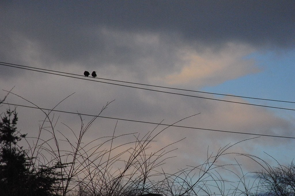 Eurepean Starlings