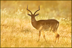 Golden Impala (hvhe1) Tags: africa sunset nature animal golden bravo wildlife interestingness1 buck impala antilope naturesfinest malamalagamereserve malamala specanimal hvhe1 hennievanheerden rattrays vosplusbellesphotos