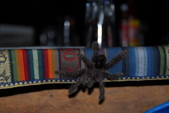 Table Spider!