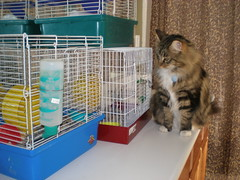 Brooklyn discovered the hamsters (PetFoster) Tags: foster hamsters