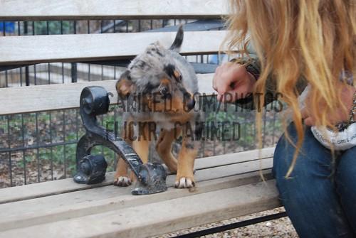 heeler mix dog. blue heeler cattle dog mix