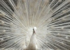White Symphony (tinica50) Tags: friends birds peacock aves birdwatcher pavão naturewatcher concordians top20white gününeniyisithebestofday flickrlovers thewonderfulworldofbirds alittlebeauty artofimages novavitanewlife bestcaptureaoi