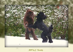 fun (darleen2902) Tags: winter brown playing black fun royal together poodle standard caniche misura darleen swow