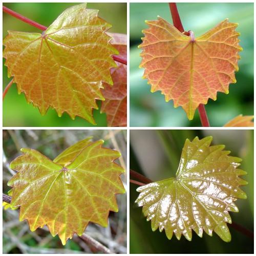 Grapevine Leaves Mosaic