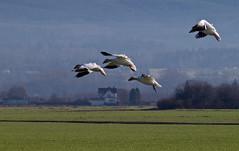 Snow Geese Landing (armadilo60) Tags: skagitvalley snowgeese