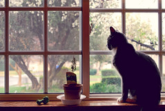 Windowsill (Amanda) Tags: california winter tree window kitchen rain cat gloomy sad cloudy rosemary windowsill rainydays overtheexcellence
