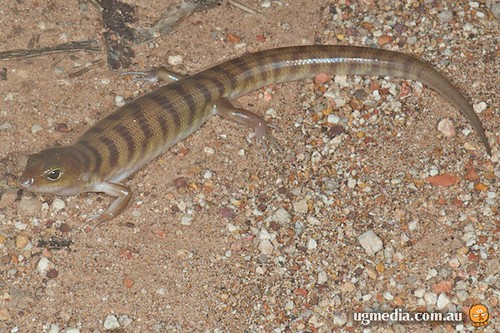 Broad-banded sand-swimmer (Eremiascincus richardsonii)