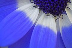 Blues ... (jibin v babu) Tags: blue white flower macro canon lens reverse