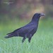 American Crow by George W. Bowles Sr.