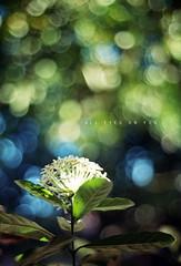 All Eyes on You (khaniv13) Tags: morning light sun white flower green film leaves nikon dof bokeh fe 50mmf18seriese bokehlicious dnpcenturia200 khaniv13
