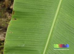 Banana (Musa sp.) (wildsingapore) Tags: plant tree nature fruit forest island singa