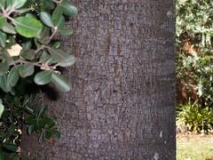 Toona ciliata 11 (barryaceae) Tags: tonies gully forster australianrainforestplants australian rainforest plants species new south wales australia ausrfps meliaceae