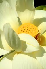 Parc Floral 024 (MUMU.09) Tags: photo foto lotus flor  bild blume fiore  imagem     flori       fiorediloto hoasen flordeloto  lotusblomma floweroflotus   lotosblume fleurdelotus     ltuszvirg kwiatlotosu  lotusblomst lotusblth lotusblm   lotosovkvt lotusiei mumu09