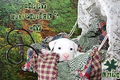 Happy St. Patrick's Day (Beverly & Pack) Tags: old blue party wallpaper dog pet baby white holiday cute green beer saint animal forest vintage puppy eyes woods carriage paddy lace walk background victorian free bull parade pitbull celebration terrier staff walker american lucky transportation download pitt patty wicker buggy bully stpatricks staffie staffordshire shamrock stpatricksday staffy amstaff stpattysday babycarriage pattie pitty apbt stpatty anitque bullie pittie