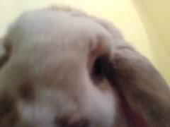 DSC00307 (joandirk) Tags: rabbit cadbury lop hollandlop