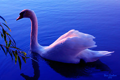 sunset swan (artfilmusic) Tags: bird swan sensational