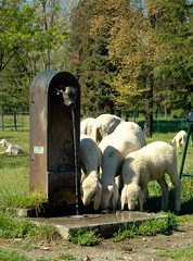 Turet e pecore (DPiero) Tags: aplusphoto ysplix veterinarifotografi febbraio2011challengewinnercontest