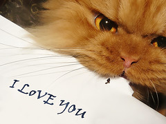 Garfi-I am signing the Letter (E.L.A) Tags: family pet pets cute love nature animal horizontal closeup cat turkey paper fur photography persian interesting kitten feline funny asia message lol gorgeous text kittens nopeople romance communication explore indoors mostinteresting iloveyou ideas domesticanimals garfield ankara domesticcat persiancat partof garfi oneanimal capitalcities colorimage catphotos animalhead animalthemes theunforgettablepictures westernscript goldstaraward bestcatphotos animalbodypart differentcatbreeds