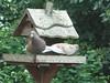 Pigeons on my bird table
