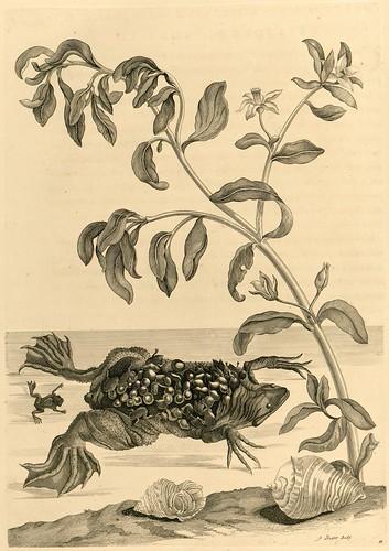 Metamorphosibus Insectorum Surinamensium (p127)
