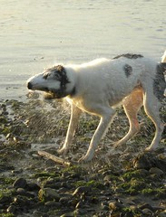 Skoosh... (Ghiribizzo) Tags: sea river fife north estuary tay ged lurcher tayport flickrhound beardedcolliegreyhound