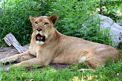 Lioness (DP Photography) Tags: park city trip travel flowers trees winter light sunset sea summer vacation sky people urban usa baby india house lake holiday snow canada black mountains color macro tree cute bird art nature animals rock fauna architecture kids night clouds canon garden landscape island photography zoo photo spring tour photos bronxzoo orissa canonef70200mmf40lusm debasis ef70200mmf40l debasish debashish debashispradhan dpphotography odisha canon70200mmf4lusmnonis canonef70200mmf40lnonis dp photography