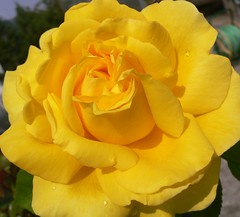 Linda rosa amarela! (Luigi Strano) Tags: flowers roses flores nature rose fleurs flor blumen fiori blommor bungabunga maua roza bloemen blomster bulaklak hoa flors iekler  flori  kvtiny   geles lule virgok blom kukat fior cvijee lilled blomme viragok    masterphotos ziedi   excellentsflowers natureselegantshots exquisiteflowers mimamorflowers auniverseofflowers awesomeblossoms flickrflorescloseupmacros kbetki kuety