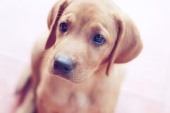 [フリー画像] 動物, 哺乳類, イヌ科, 犬・イヌ, ラブラドール・レトリーバー, 子犬・小犬, 200807140600
