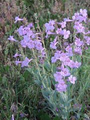 Penstemon buckleyi (Carolannie--slow return) Tags: blue penstemon oddshaped wfna buckleyspenstemon penstemonbuckleyi scrophularaceae