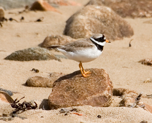 Ringed plover 4