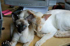 Friends (af_foto) Tags: cats siamese opus lalaith