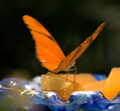 Feast fit for a butterfly (photogenesis1) Tags: orange closeup butterfly