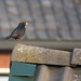 A blackbird on the roof