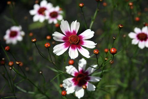'Sweet Dreams' Coreopsis (Coreopsis Rosea)
