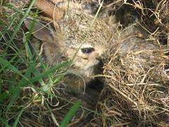baby bunnies,  004 (cochran.maryann) Tags: bunnies wildlife babie babiebunnies