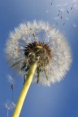 Fly away with me (aussiegall) Tags: winter sky photoshop garden seeds brushes layers anillusion puffball dandylion stillwaitingfortherestofmybulbstoflower