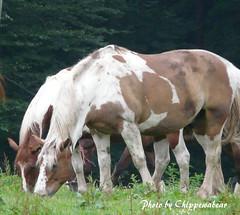 Paint Horses (chippewabear) Tags: horses paint indiana mccormickscreekstatepark