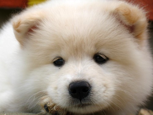 Samoyeds Dog Names Samoyed Dog Puppies