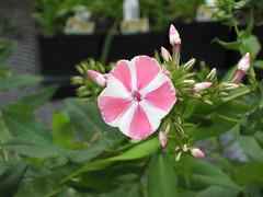 Peppermint twist garden phlox