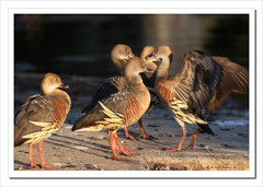 Plumed Whistling Ducks-3971 (Barbara J H) Tags: nature duck wildlife australia qld waterfowl sunshinecoast waterbirds australianwildlife nambour australiannativebird plumedwhistlingduck whistlingduck dendrocygnaeytoni birdsofaustralia specanimal wildlifeofaustralia barbarajh
