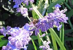 lavender bee ... a very busy bee (stokrotka49) Tags: nyc summer beach boardwalk statenisland 2008 southbeach goldstaraward