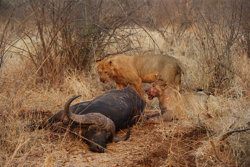 lion eat