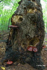 Red Polypore on a Woodpecker's tree