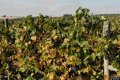 Vindima 2008 (Cortes de Cima) Tags: portugal vineyard harvest winery vinha 2008 alentejo adega wines vindima cortesdecima